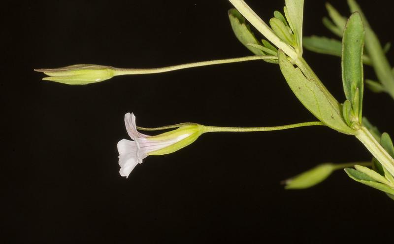 Axil Flower (Mecardonia acuminata)