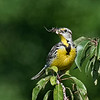 Meadowlark with a spider