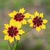 Garden Coreopis