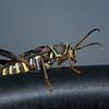 Longhorn Beetle (Neoclytus scutellaris)