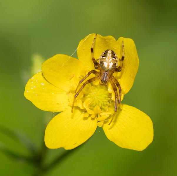 Arabesque Orbweaver Spider