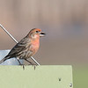 House Finch yellow/orange morph