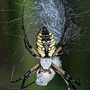 Black and Yellow Garden Spider(Argiope aurantia)