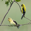 Goldfinch male and female