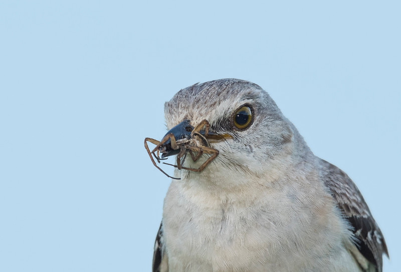 Mockingbird with a spider