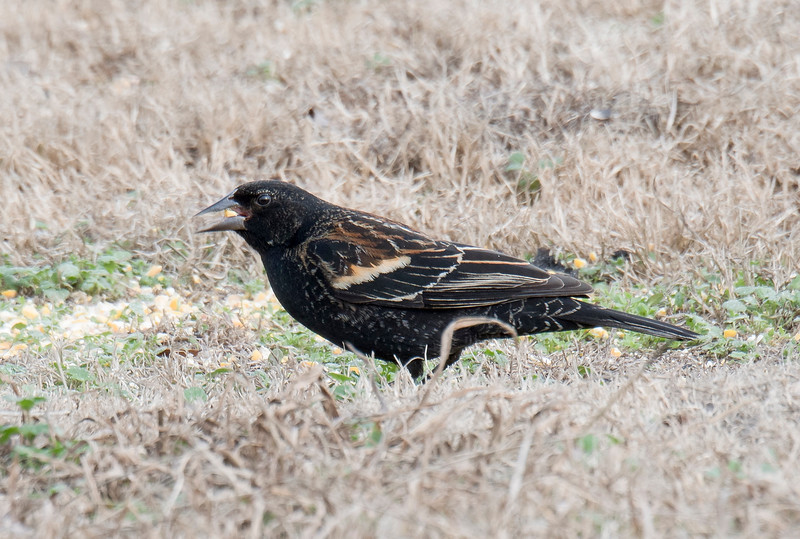 Red-winged Blackbird juvenile male
