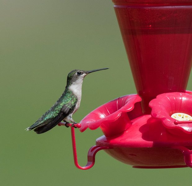 First of the year female Ruby-throated Hummingbird