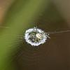 Lined Orbweaver Spider (Mangora gibberosa)
