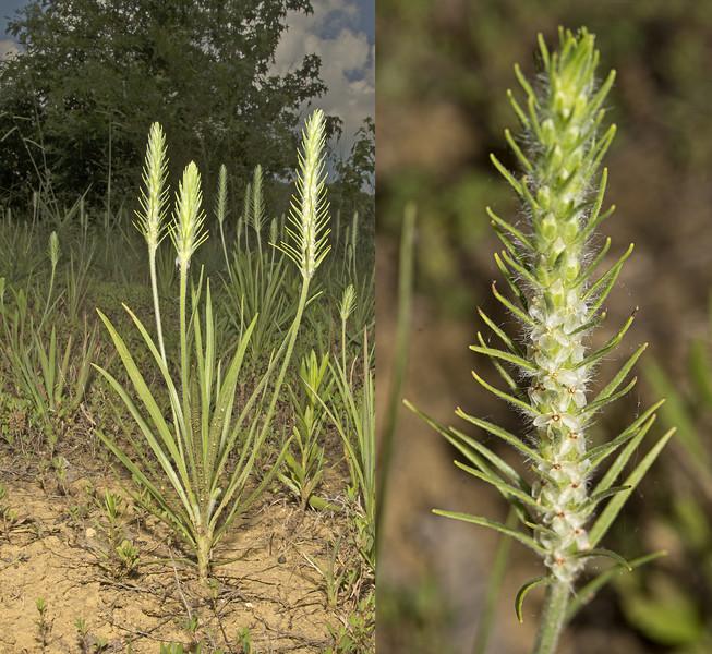 Bracted Plantain (Plantago aristata)