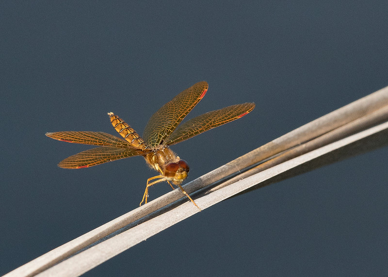 Eastern Amberwing  (Perithemis tenera)