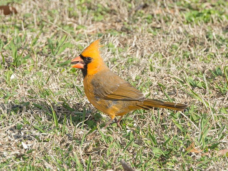 Cardinal  yellow morph
