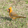 Cardinal  yellow morph