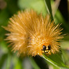 Saltmarsh Moth Caterpillar