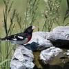 Rose-breasted grosbeak male