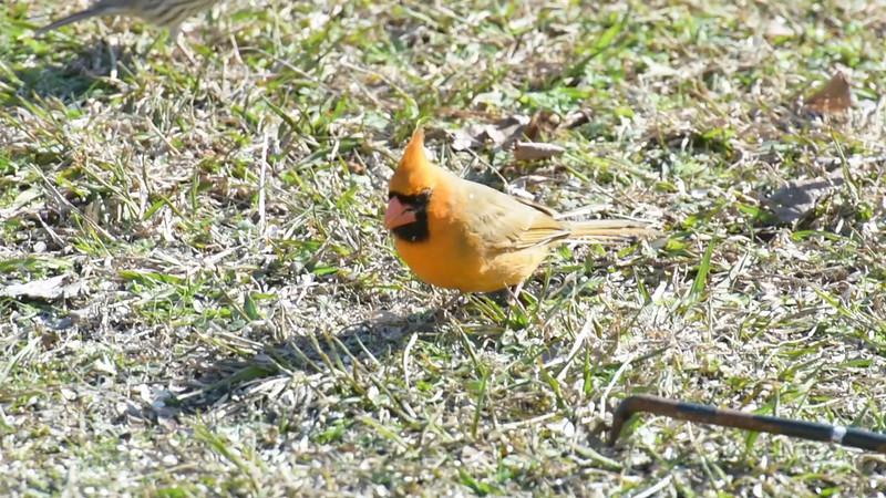 Yellow morph Cardinal
