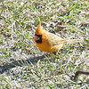 Yellow morph Cardinal