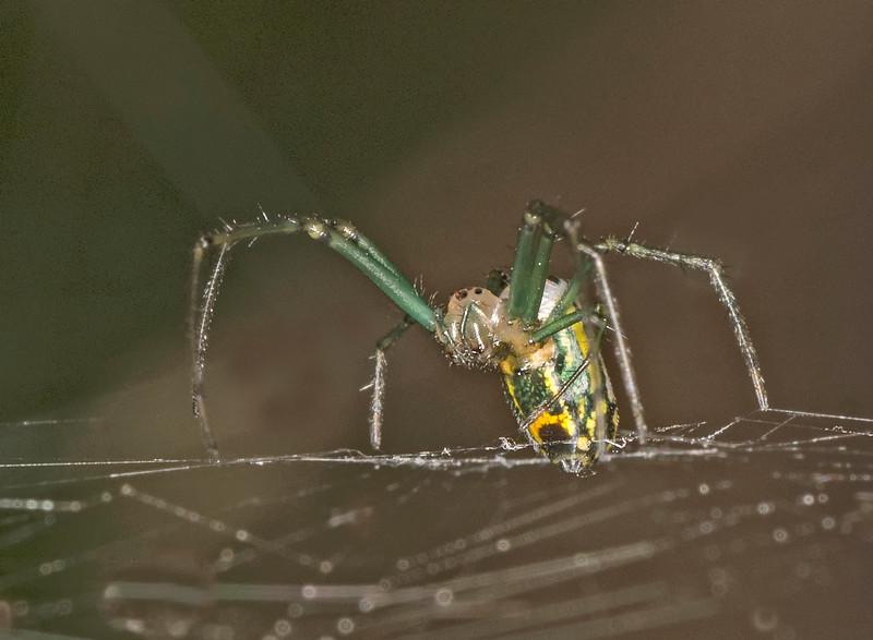 Mabel Orchard Orbweaver Spider