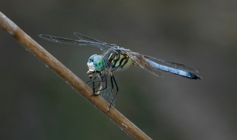 Green Darner eating a damselfly