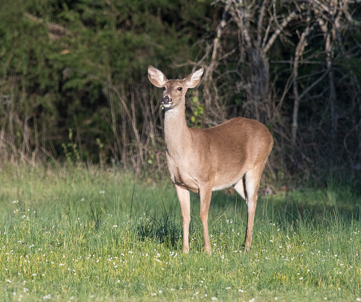Deer eating False Garlic
