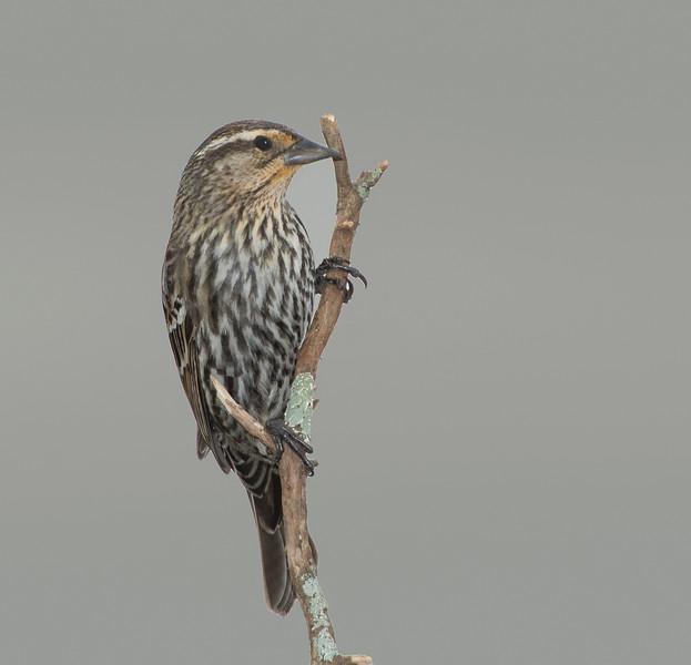 Red-winged Blaackbird female