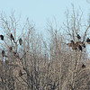Turkey Vulture roost