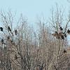 Turkey Vulture roost