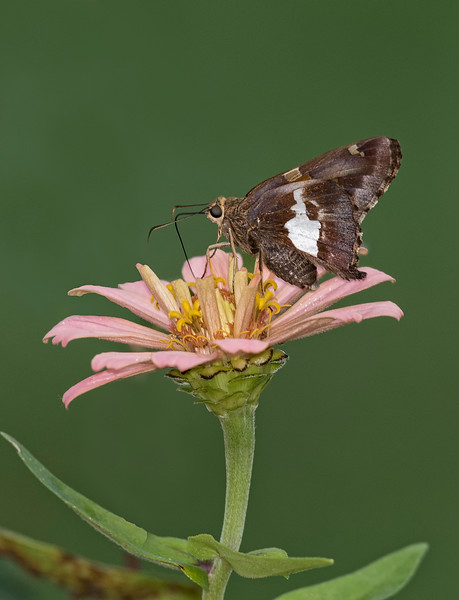 Silver Spotted Skip[per Butterfly