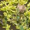 Green Lynx with egg sack and Freeloader Flies