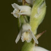 Spring Ladies Tresses (Spiranthes vernalis)