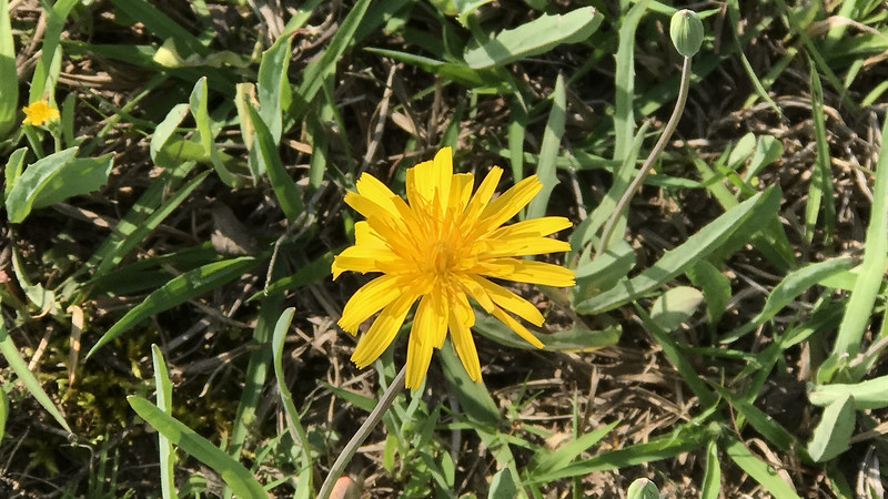 "Tall yellow flower 10""-16"" and grows in huge colonies"