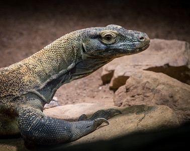 Monitor Lizard, 2015  ©Gerald Diamond All rights reserved