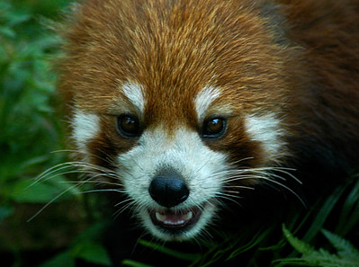Red Panda - Central China  ©Gerald Diamond All rights reserved