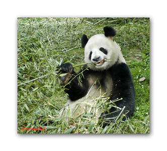 Panda in China  ©Gerald Diamond All rights reserved