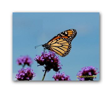 Monarch, Bar Harbor, Maine   ©Gerald Diamond All rights reserved