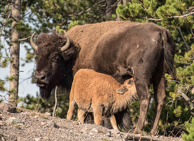 American Bison Mother & Calf, Yellowstone National Park, Wyoming