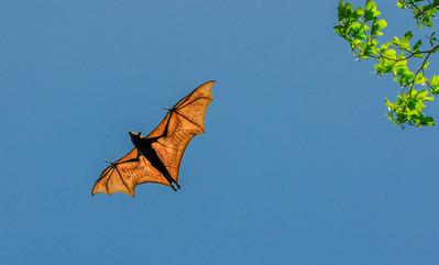 Bat, Kakadu, Northern Territory, Australia