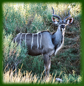 Kudu - Botswana, Africa  ©Gerald Diamond All rights reserved