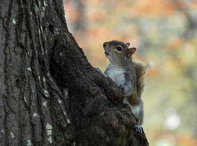 Cautious to a fault, gray squirrels abound in Atlanta's Piedmont Park.  ©Gerald Diamond All rights reserved