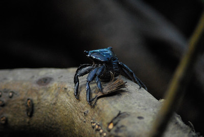 Blue Crab - Rain Forest, Queensland, Australia  ©Gerald Diamond All rights reserved