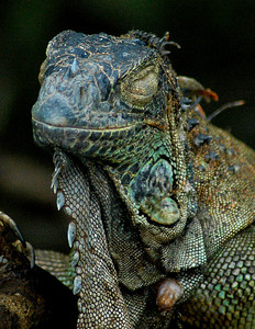 Iguana in mid-blink - Costa Rica  ©Gerald Diamond All rights reserved
