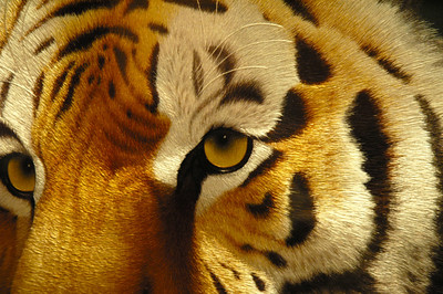 Tiger - silk embroidery, China