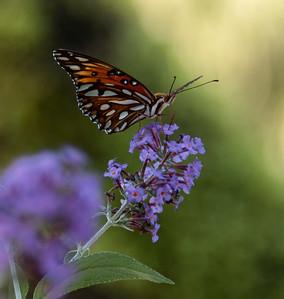 Butterfly, Atlanta Botanical Garden  ©Gerald Diamond All Rights Reserved