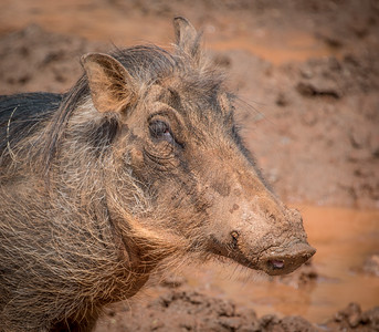 Warthog, 2015  ©Gerald Diamond All rights reserved
