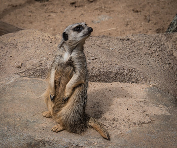 Meercat, 2015  ©Gerald Diamond All rights reserved