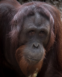 Orangutan, 2015  ©Gerald Diamond All rights reserved
