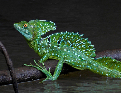The Basilisk Lizard of Costa Rica is often called the Jesus Christ Lizard for its strange ability to skitter upright across the surface of the water using its hind legs to propel it rapidly.  ©Gerald Diamond All rights reserved