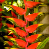 """""""Lobster Claw"""" plant in Nassau, Bahama"""