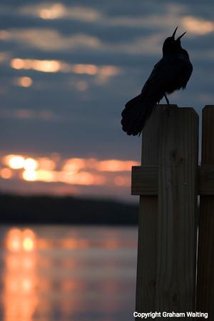 Bird singing at sunrise perched
