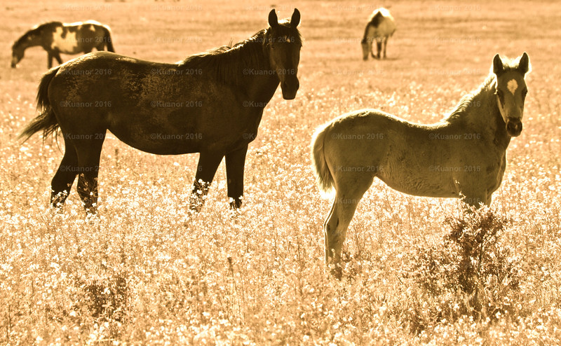 Sunburnt Equines<br /> A hot, dry and dusty field in the Okanagan provided scant but seemingly sufficient grazing for two curious horses.