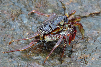 Mirissa - Rock Crab
